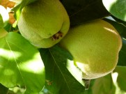 image of quince fruit from our garden at Cortijo Las Viñas