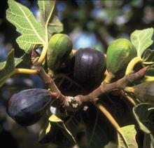 image of fig tree in our garden at Cortijo Las Viñas