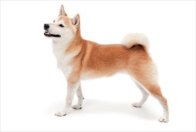 ふぉとさいく の柴犬写真1