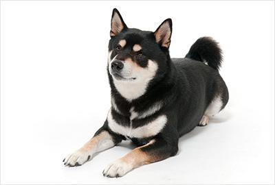 ふぉとさいく の柴犬写真2