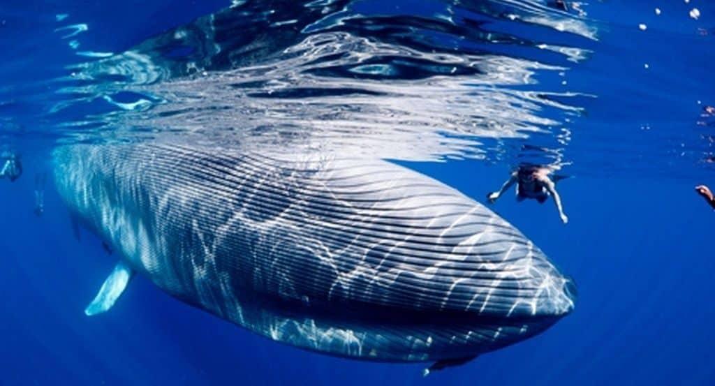 scădere în greutate a balenelor cu cocoașă slim jos corpul inferior