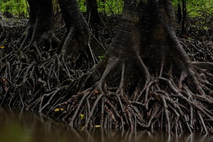 Мангровые леса