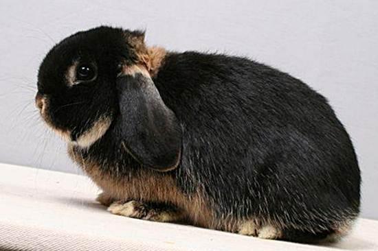 Кролики породы Баран - описание, разведение, фото и видео ...