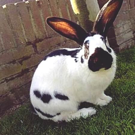 Кролик Немецкий Черный Великан Строкач - описание ...