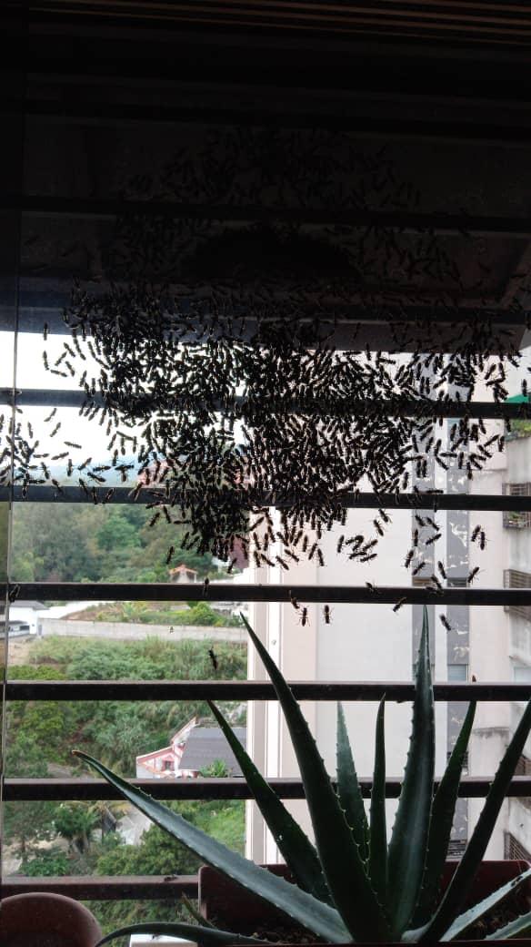 Enjambre de abejas causó temor entre residentes las torres de OPS en San Antonio