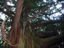 伊豆 樹齢千年