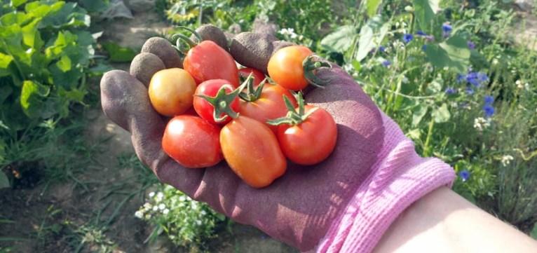 Tomaten erste Ernte