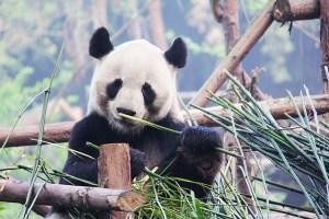 パンダのフリー画像