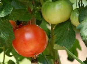 tomatoA (1)