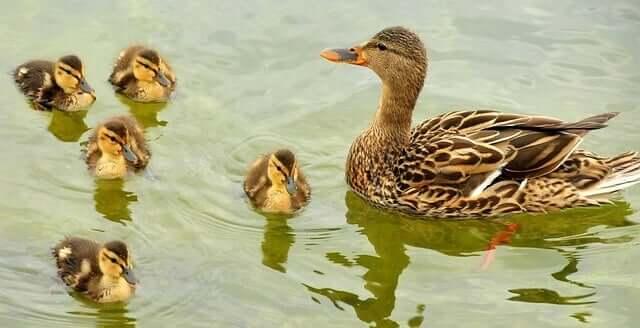 mallard-ducks-938502_640