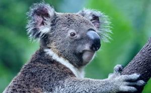 soñar con koalas
