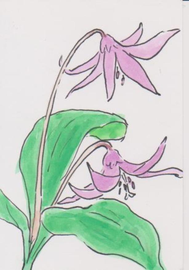 カタクリの花の絵ー6