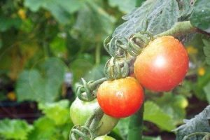 tomato-new016