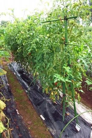 tomato-new019