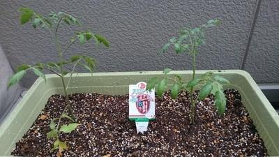 tomato-uetuke005