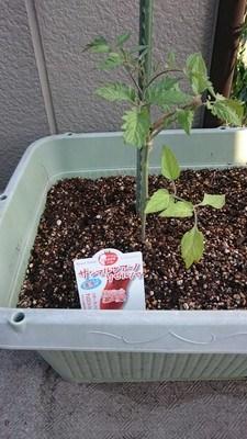 tomato kariyuin01