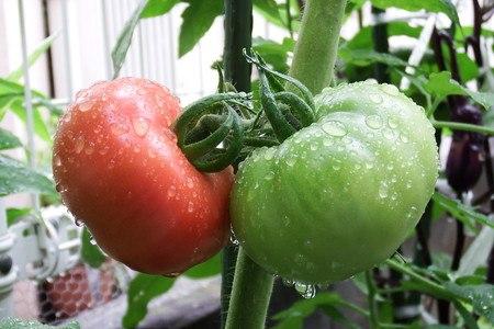 tomato-reika