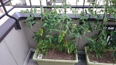 tomato-syukaku002