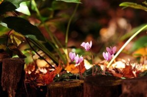 Primitive cyclamen (2)