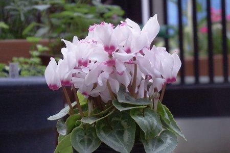 gardenCyclamen003