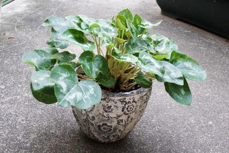 gardencyclamen16081