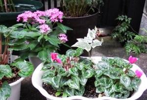 gardencyclamen1610095
