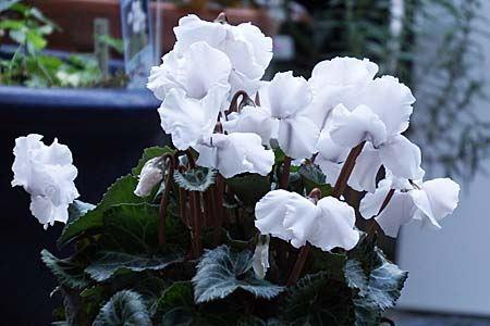 gardencyclamen-suiko06