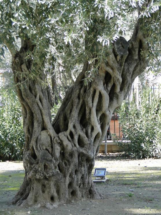 Drzewo oliwne przed zamkiem w Limassol