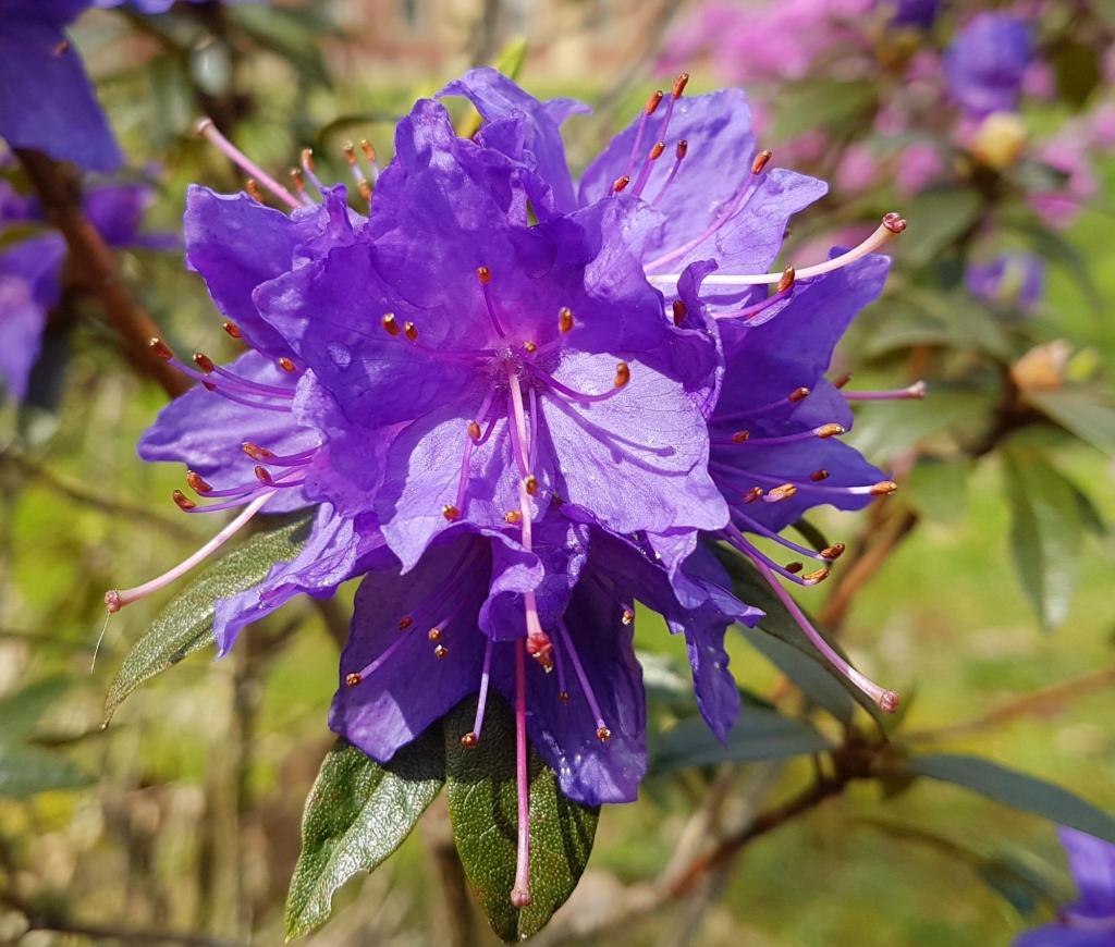 Kwiaty w parku rododendronów w Kromlau