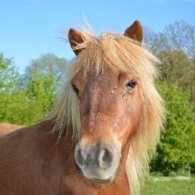 Shetland-Pony/ Foto: pixabay -JACLOU-DL-