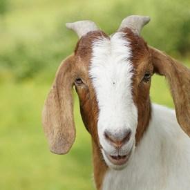 Ziege/ -goat- Foto: pixabay -Monsterkoi-