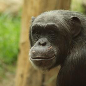 Schimpanse/ Foto: pixabay-kleinAlexis