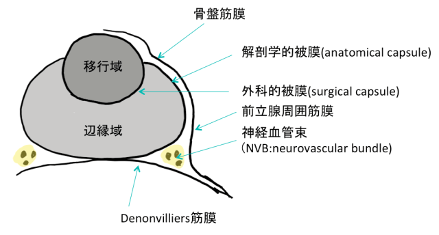 nvb-neurovascular-bundle