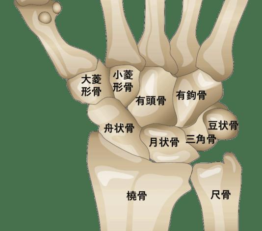 手根骨の解剖・場所のイラスト・図