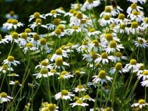 German chamomile (2)