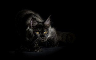 espectacular foto de un gato negro