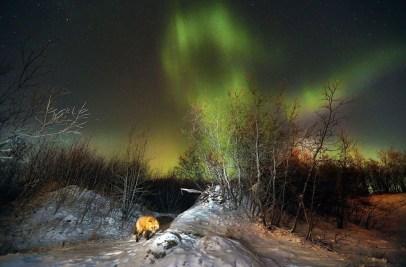 zorro rojo iluminado por la aurora boreal
