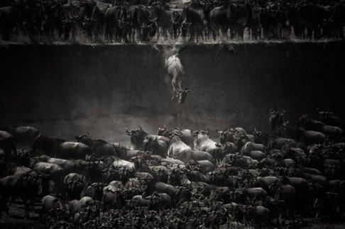 national-geografic-2014-serengeti-migracion-ñu