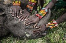 grupo de guerreros Samburu tocan un rinoceronte negro por primera vez. Están casi extintos.