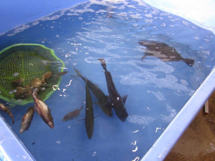 江の島漁港の生け簀です