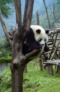 四川省のジャイアントパンダ保護区(中国)