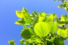 柿の葉茶 効果 効能