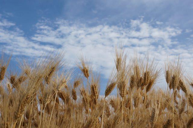 小麦 大麦 ライ麦 燕麦