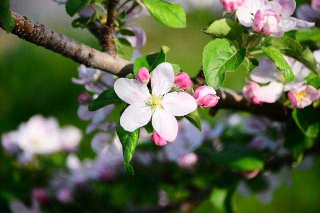 りんご 花言葉