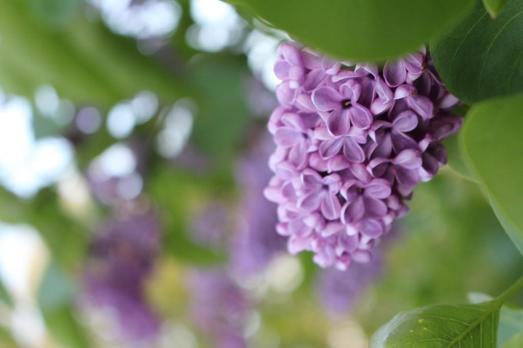 Syrener lilla