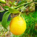 Citrangequat thomasville -12ºC. mise à fruit rapide.