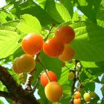 Cerisier cœur de pigeon jaune