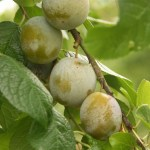 Prunier verdane