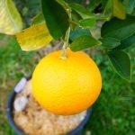 "Oranger  ""Caracara""/ FA5. -8°C"