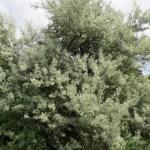 Eleagnus angustifolia
